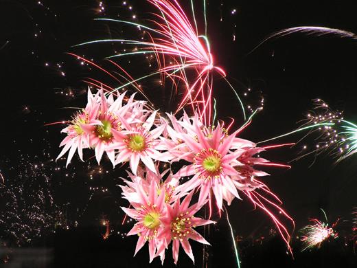 Hauswurz-trifft-Feuerwerk-520px.jpg